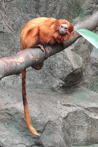 Golden lion tamarin - Golden lion tamarin at Copenhagen Zoo, Copenhagen, Denmark