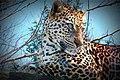 Leopard (3442811489).jpg