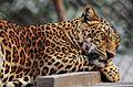 Leopard sleep cute.jpg