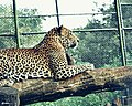Leoparde.jpg