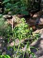 Lepidium virginicum flowers.jpg