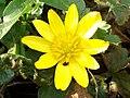Lesser Celandine (Ranunculus ficaria) (4461619687).jpg