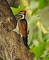 Lesser Flameback woodpecker 5 (Dinopium benghalense)നാട്ടു മരംകൊത്തി .jpg