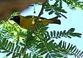 Lesser Masked-Weaver - Flickr - Ragnhild & Neil Crawford.jpg