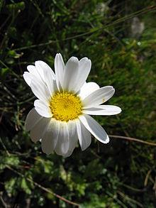 SI NO ESTAS... (Lo triste es asi... ) 220px-Leucanthemopsis_alpina07