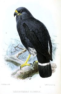 Leucopternisplumbeus