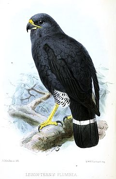Leucopternisplumbeus.JPG