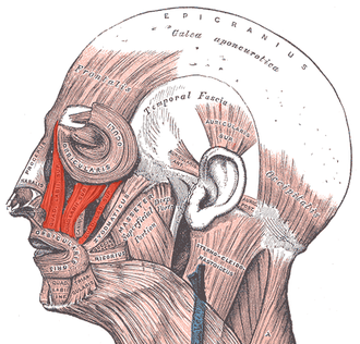 Levator labii superioris - Muscles of the head, face, and neck.