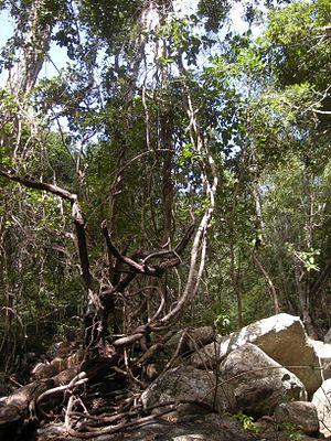Liana - Mixed species tangle of lianas in Tropical Australia.