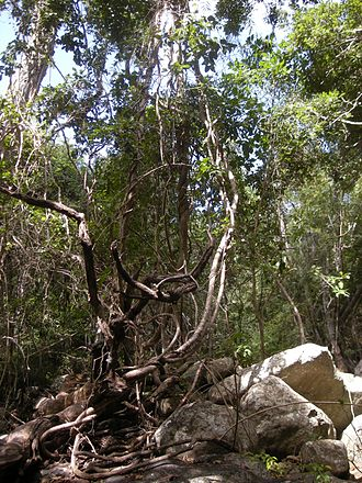 Liana - Mixed species tangle of lianas in Tropical Australia.