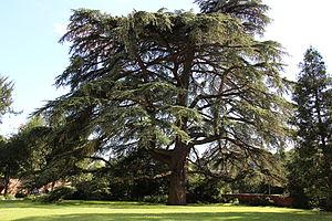 Weinheim - Lebanon Cedar in Schlosspark