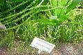 Lilaeopsis brasiliensis - Victoriahuset, Bergianska trädgården - Stockholm, Sweden - DSC00261.JPG