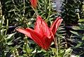 Lilium Tiny Hope 6zz.jpg
