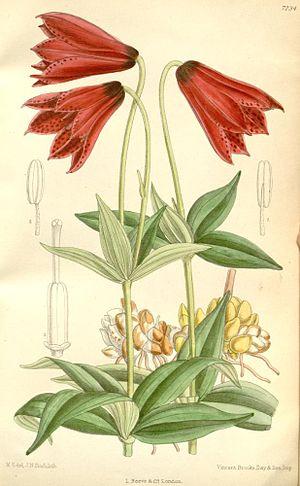 Lilium grayi - Image: Lilium grayi 2