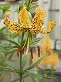 Lilium iridollae.jpg