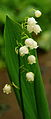 Lilly of the valley Bulgaria.jpg