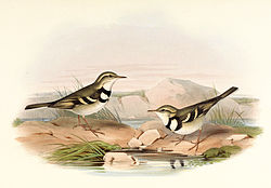 Illustrasjon av H. Richter and John Gould