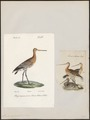 Limosa aegocephala - 1700-1880 - Print - Iconographia Zoologica - Special Collections University of Amsterdam - UBA01 IZ17400005.tif