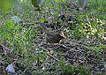 Lincoln's Sparrow (8002115415).jpg