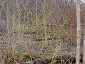 Lindera benzoin 01304.jpg