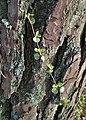 Linnaea borealis kz04.jpg