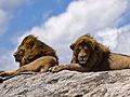Lions on rock.jpg
