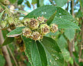 Lippia myriocephala (or L. cardiosegia) (11628661316).jpg