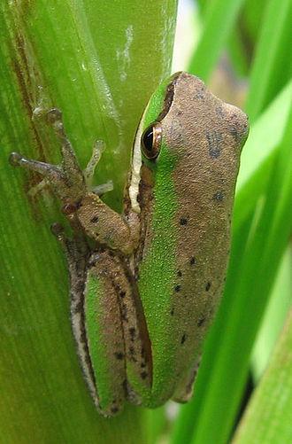 Eastern dwarf tree frog - Fawn/green colouration of the Eastern dwarf tree frog