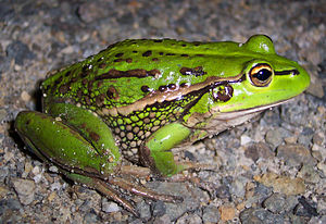Growling grass frog - A light-green Litoria raniformis