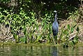 Little Blue Herons (33938793060).jpg