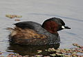 Little Grebe (or Dabchick), Tachbaptus ruficollis, at Marievale Nature Reserve, Gauteng, South Africa - breeding plumage (21410535575).jpg