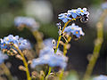 Little blue flowers (14353775513).jpg