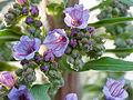 Little purple flowers (14259005824).jpg