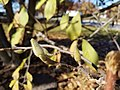 Loebner Magnolia (30792096100).jpg