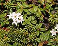 Loiseleuria procumbens in Mount Norikura.JPG