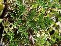 Lomatium utriculatum 37835.JPG