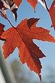 Lonely Maple Leaf.jpg