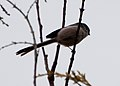 Long Tailed Tit (5401408304).jpg