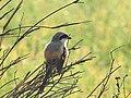 Longtailed shrike. - 6.jpg