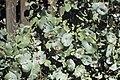 Lonicera prolifera WPC.jpg