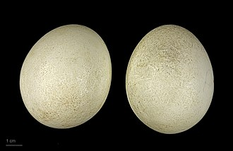 Hooded merganser - Lophodytes cucullatus - MHNT