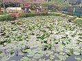 Lotus Pool, Tsing Fai Tong, Tsuen Wan District, Hong Kong.jpg
