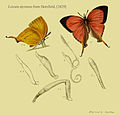 Loxura atymnus fromHorsfield1829.JPG