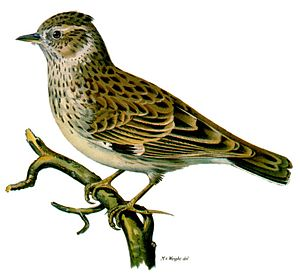 Woodlark - Coloured lithograph by Magnus von Wright