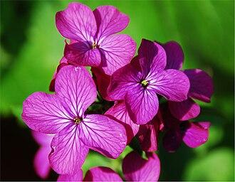 Lunaria annua - Image: Lunaria annua detail