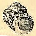 Lunella coreensis 001.jpg