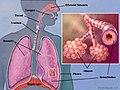 Lungs Anatomy.jpg