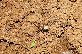 Lycosidae sp 5219.jpg