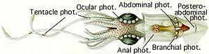 """Photophore - Image: Lycoteuthis """"diadema"""""""
