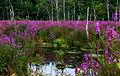 Lythrum salicaria, purple loosestrife, Boxborough, Massachusetts 2.jpg
